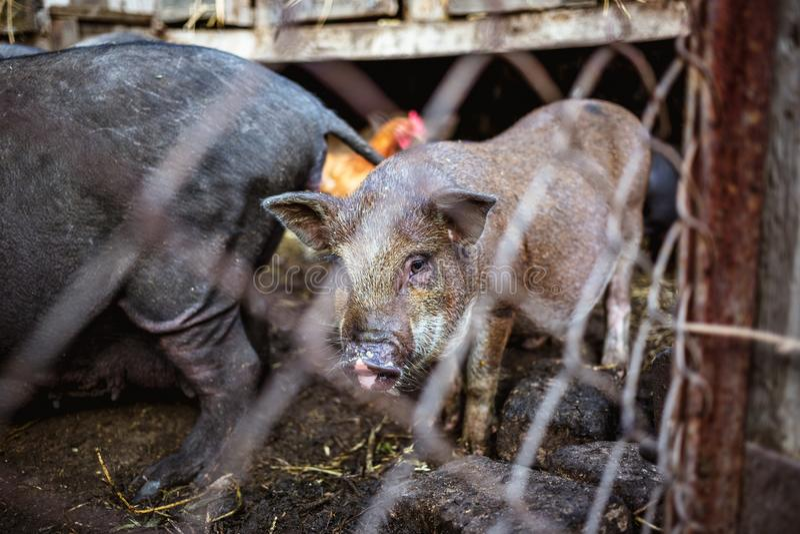 Porcos vietnamianos atrás de uma cerca da malha em uma exploração agrícola fotografia de stock