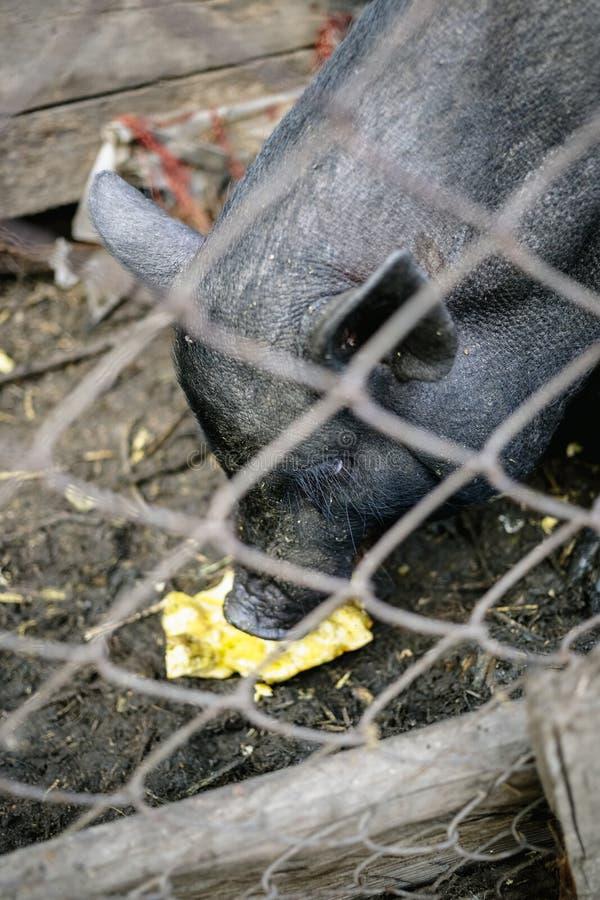Porcos vietnamianos atrás de uma cerca da malha em uma exploração agrícola imagem de stock
