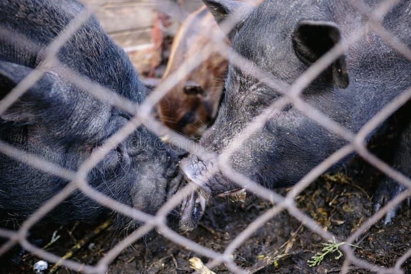 Porcos vietnamianos atrás de uma cerca da malha em uma exploração agrícola foto de stock royalty free