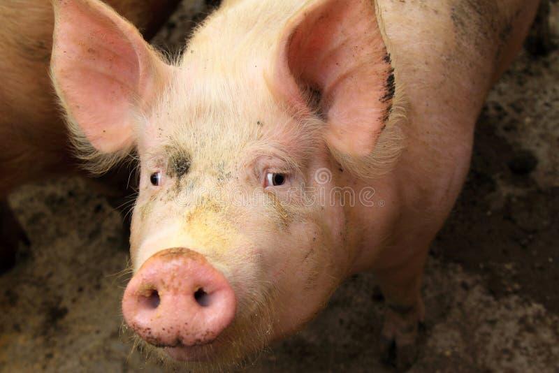 Porcos vivos em uma exploração agrícola imagem de stock