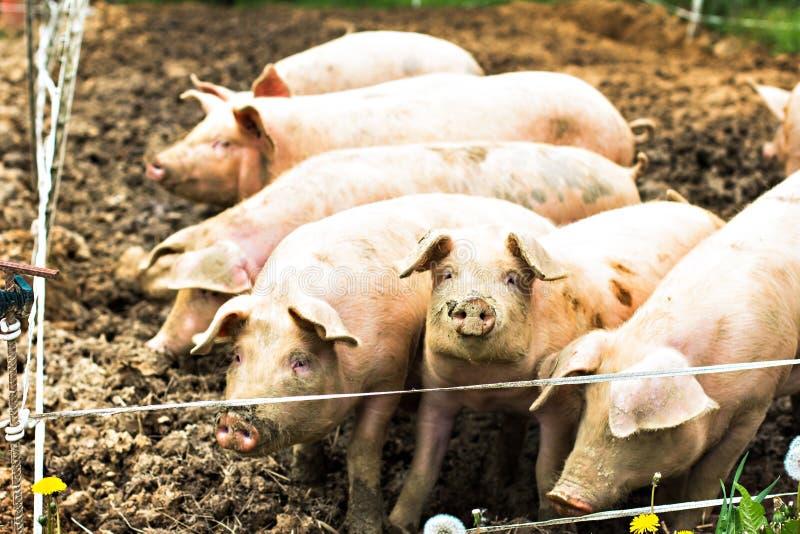 Porcs à l'eco-ferme images stock