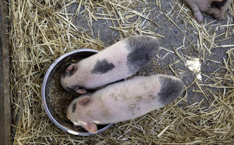 Porcs à la ferme photos stock