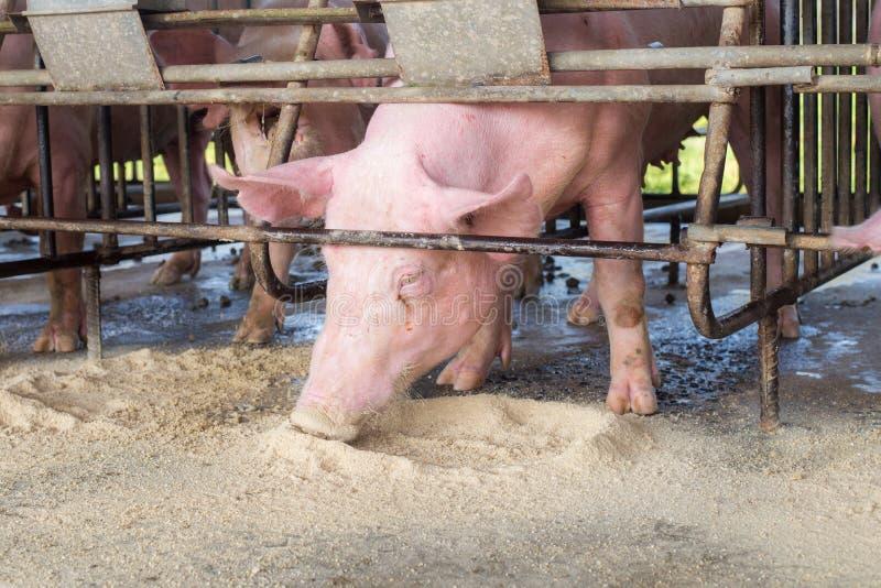 Porcs à la ferme Industrie de porc Porc cultivant pour satisfaire la demande croissante de viande en Thaïlande et international image libre de droits