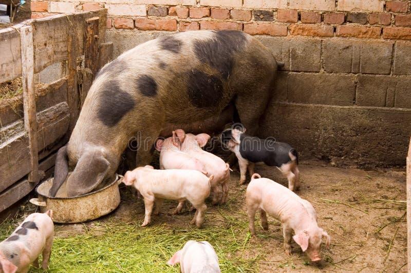 Porcs photographie stock
