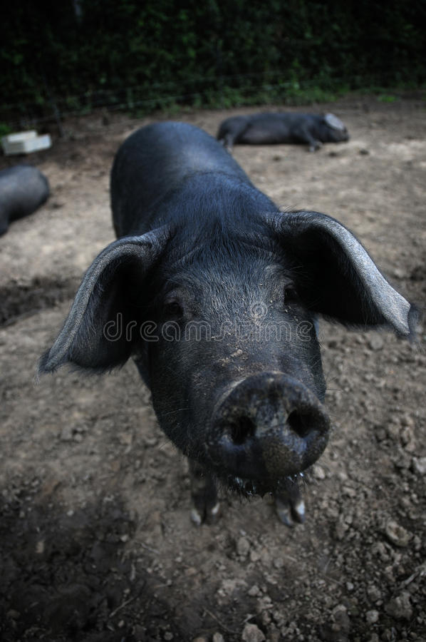 Porcs images stock