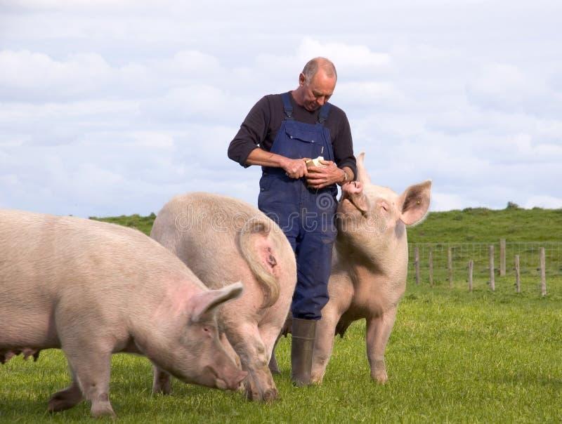 Porcs alimentants de fermier photographie stock libre de droits