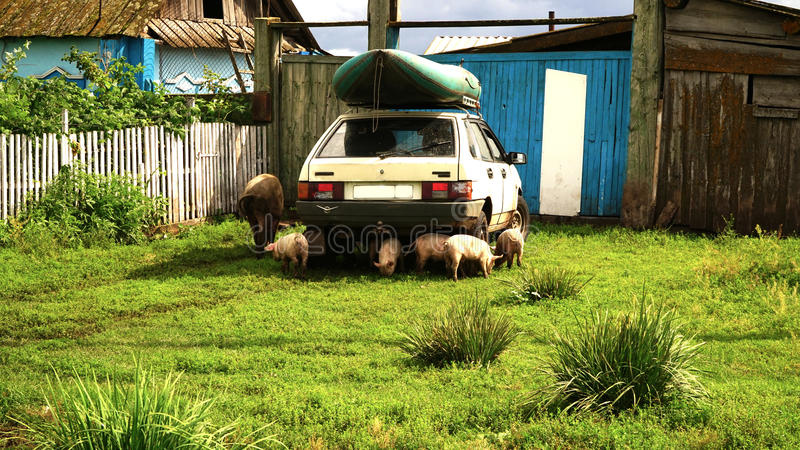 Porcs autour de voiture image stock