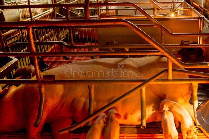 Porcs cultivant - ferme de porcs de parent image stock