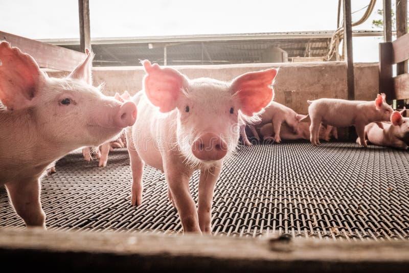 Porcs curieux images libres de droits