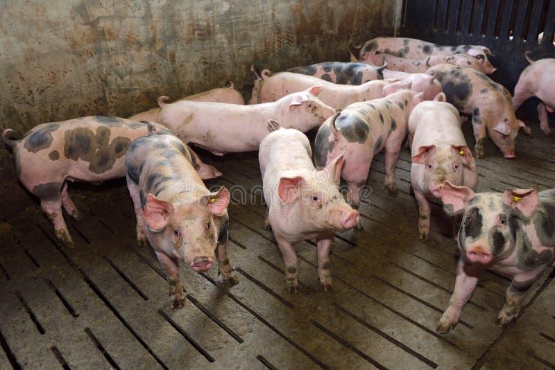 Porcs d'engraissement approchant deux mois images stock