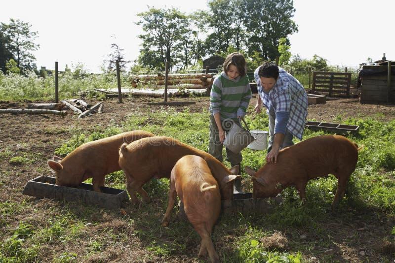 Porcs d'And Son Feeding de père dans l'étable images libres de droits