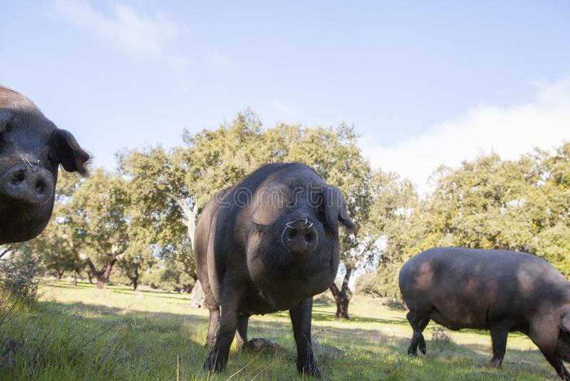 Porcs dans le domaine photographie stock libre de droits