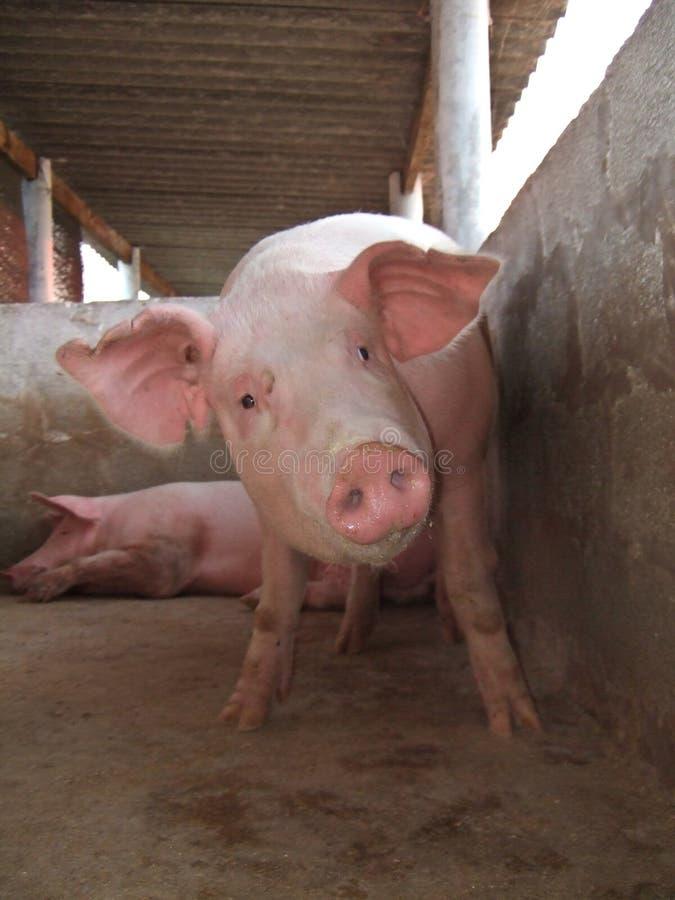 Porcs dans une étable photos stock