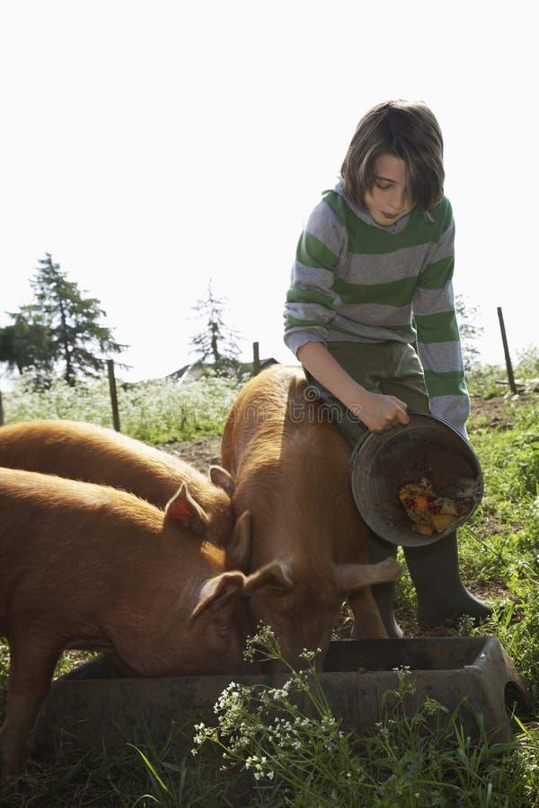 Porcs de alimentation de garçon dans l'étable images libres de droits
