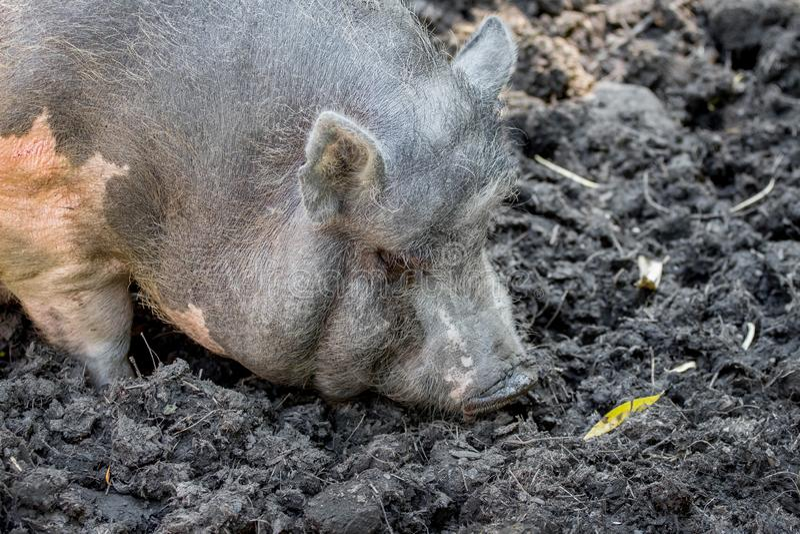 Porcs de Gray Vietnamese dans un marais Élevage de pigs_ image stock