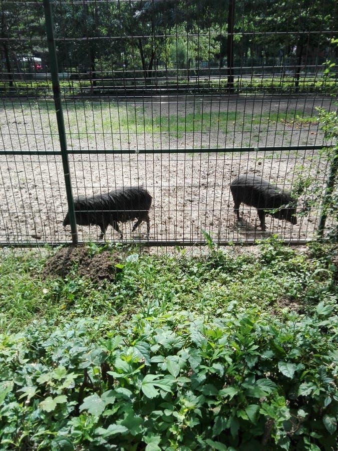 Porcs en captivité photographie stock