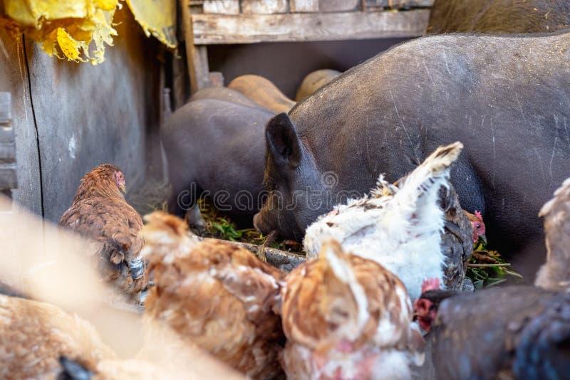 Porcs et poulet vietnamiens de alimentation à la ferme images stock