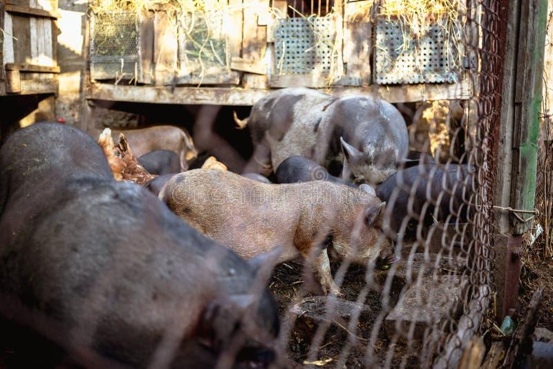 Porcs et poulets vietnamiens de alimentation à la ferme image stock