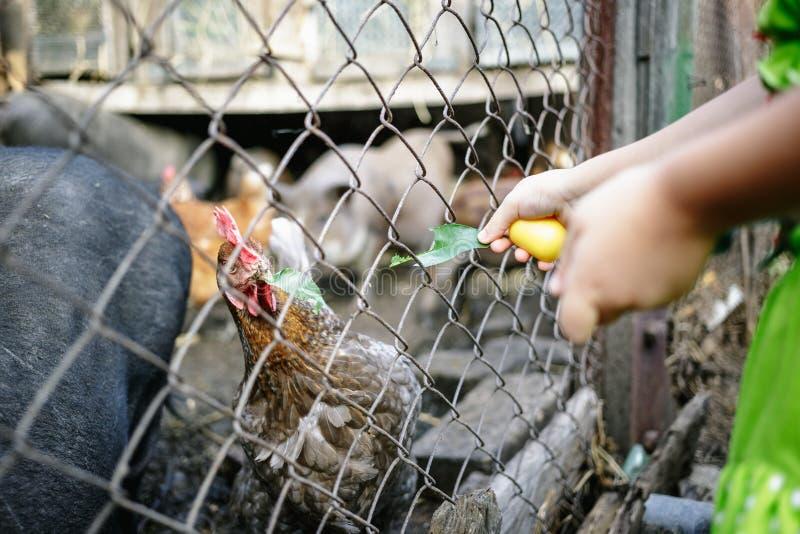 Porcs et poulets vietnamiens de alimentation à la ferme photographie stock libre de droits