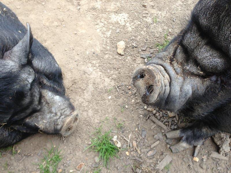 Porcs gonflés par pot images stock