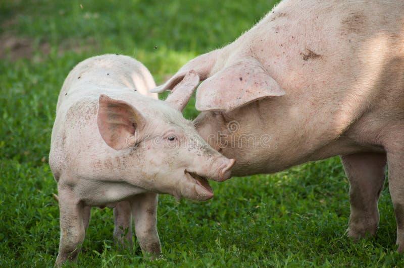 Porcs gratuits dans un pré photographie stock libre de droits