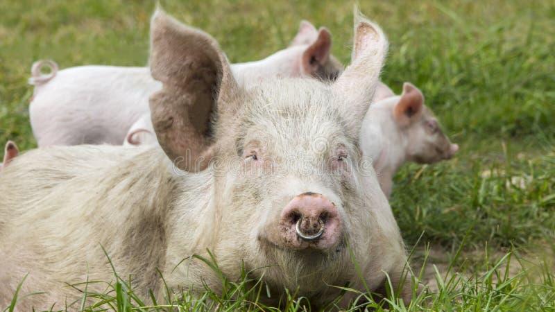 Porcs heureux sur un pré de floraison photographie stock libre de droits