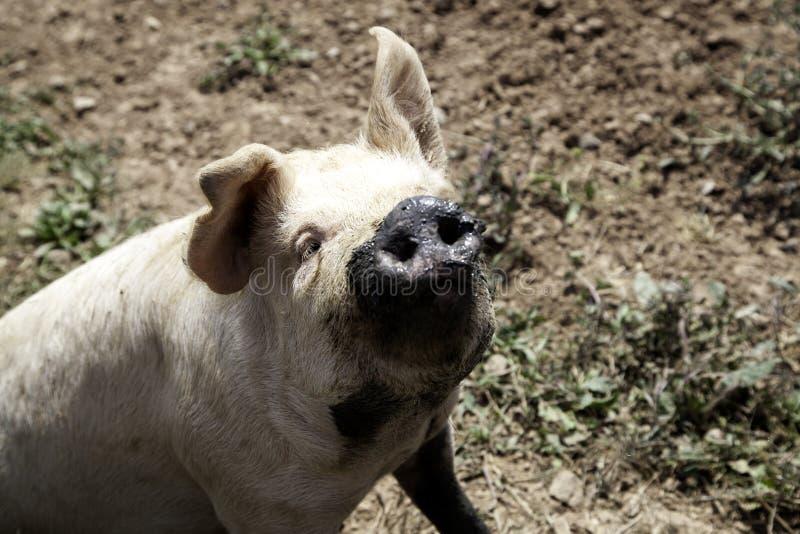Porcs ? la ferme photographie stock