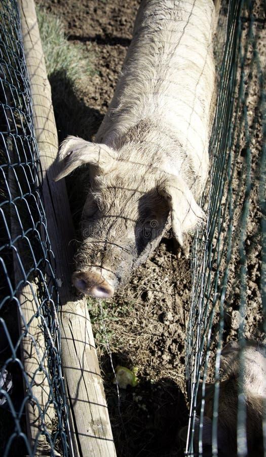 Porcs ? la ferme image stock