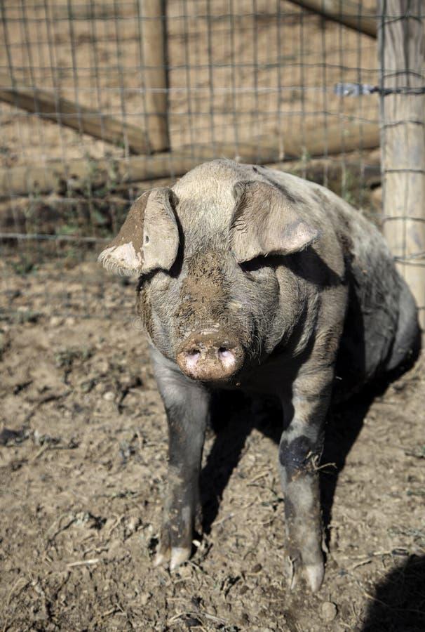 Porcs ? la ferme photos libres de droits