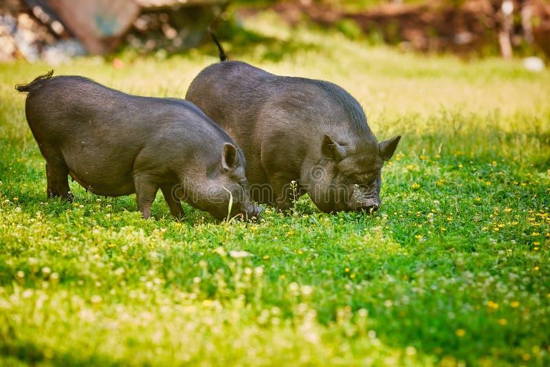 Porcs noirs ventrus vietnamiens Sont frôlés à une ferme sur un pré vert clair avec une herbe fraîche et des fleurs photos libres de droits