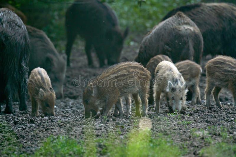 Porcs sauvages dans la for?t photos stock
