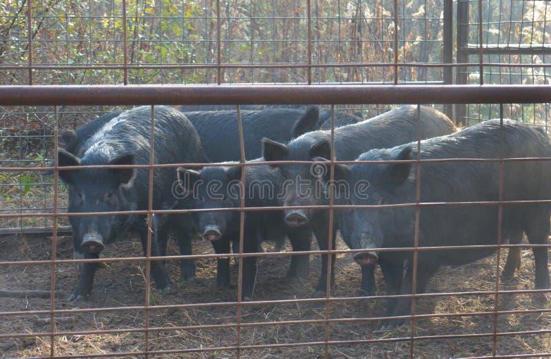 Porcs sauvages enfermés image libre de droits