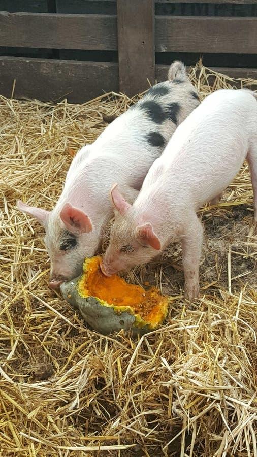 Porcs sur le swuash photo stock