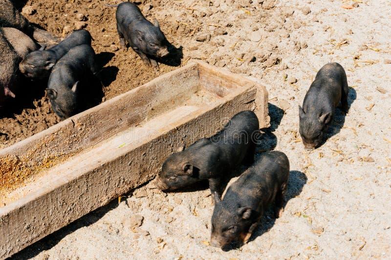 Porcs vietnamiens photographie stock libre de droits
