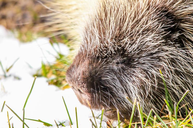 Porcupine, εθνικό πάρκο νησιών αλκών, Αλμπέρτα, Καναδάς στοκ εικόνα με δικαίωμα ελεύθερης χρήσης