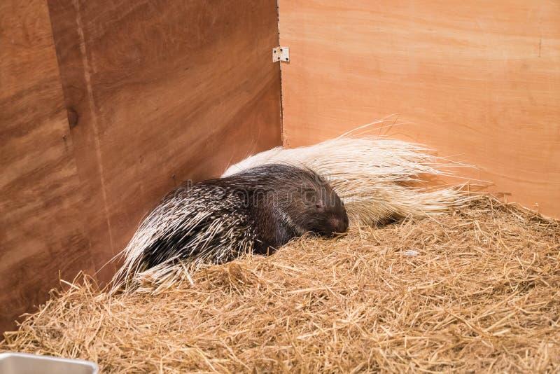 porcupine στο αγρόκτημα στοκ εικόνα με δικαίωμα ελεύθερης χρήσης