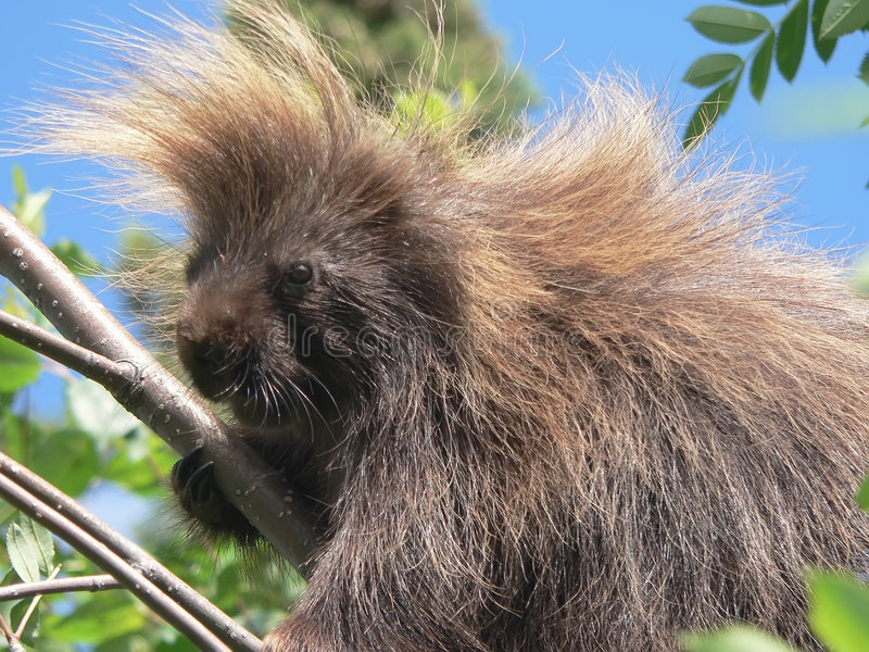 Download Porcupine stock photo. Image of wildlife, hairy, branch - 166060