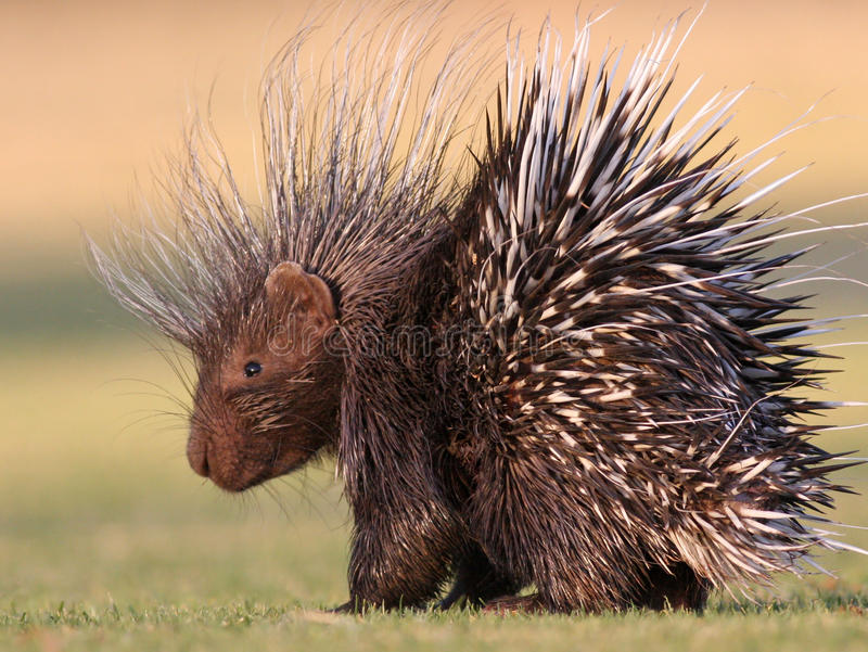 Porcupine. Beautiful porcupine walking on golf coarse royalty free stock photography