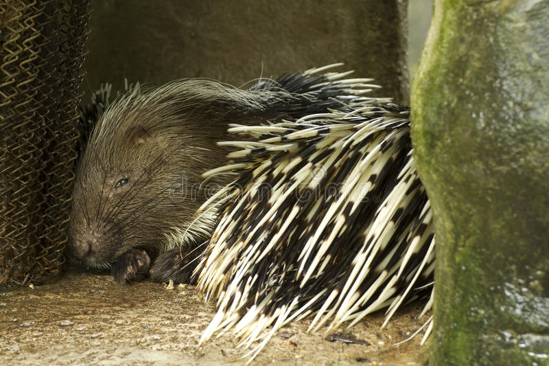 Download Porcupine stock photo. Image of shot, quill, rodent, needle - 24651788