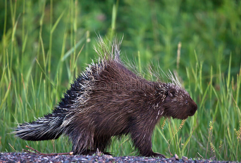 Porcupine. Young porcupine profile with quills raised royalty free stock photo