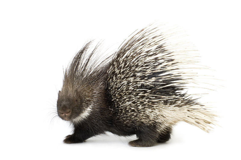 Porcupine. In front of a white background stock photos