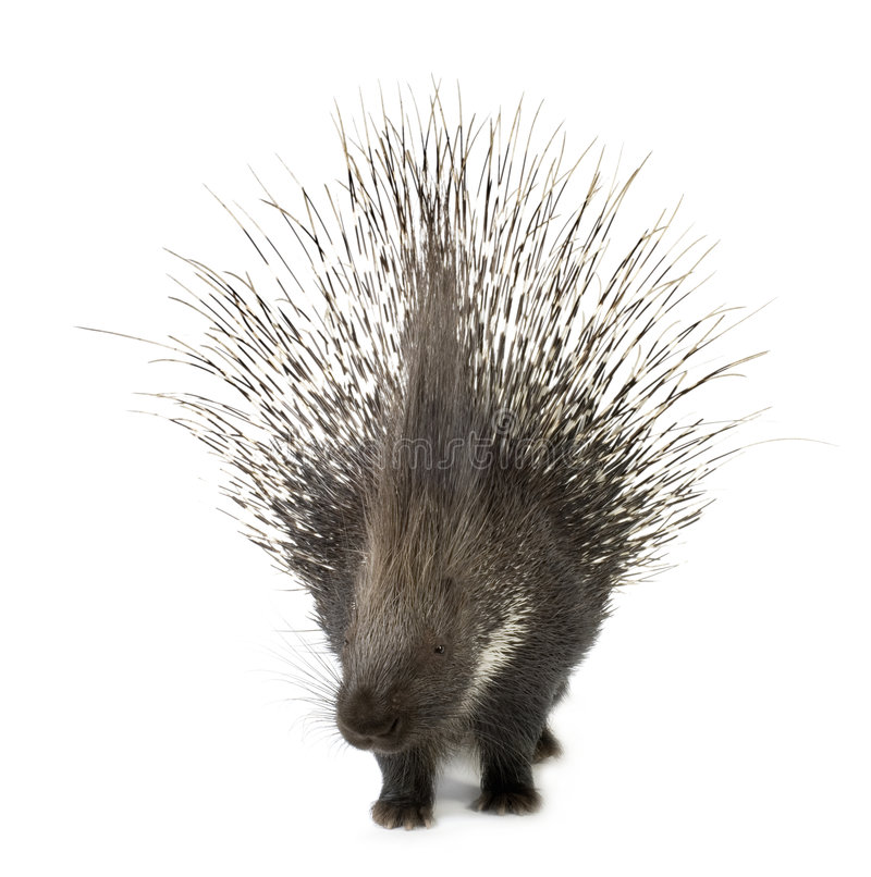 Porcupine. In front of a white background stock photo