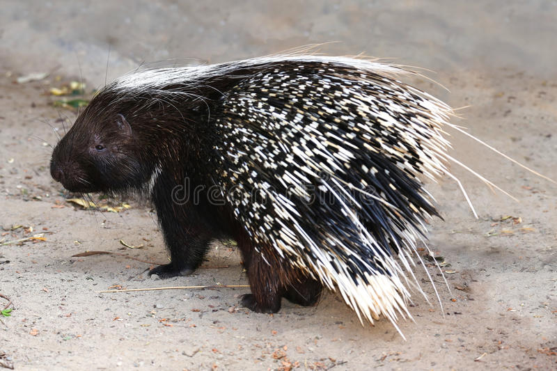 Porcupine Animal. Porcupine rodent with sharp black and white quills stock photo