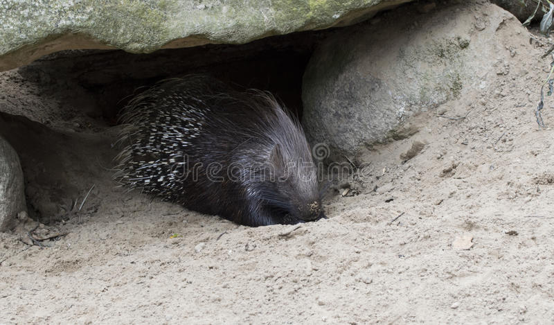 Porcupine. Animal in sand unther rock royalty free stock photography