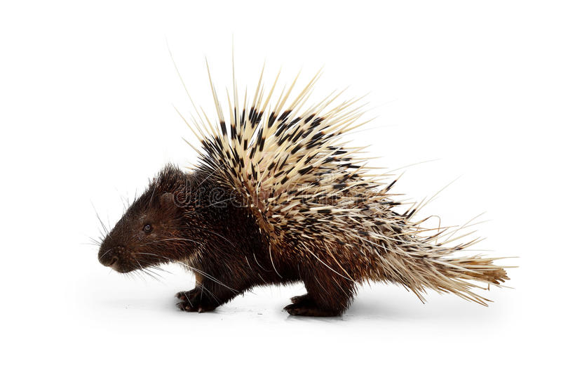 Porcupine. Animal wildlife white stock photography