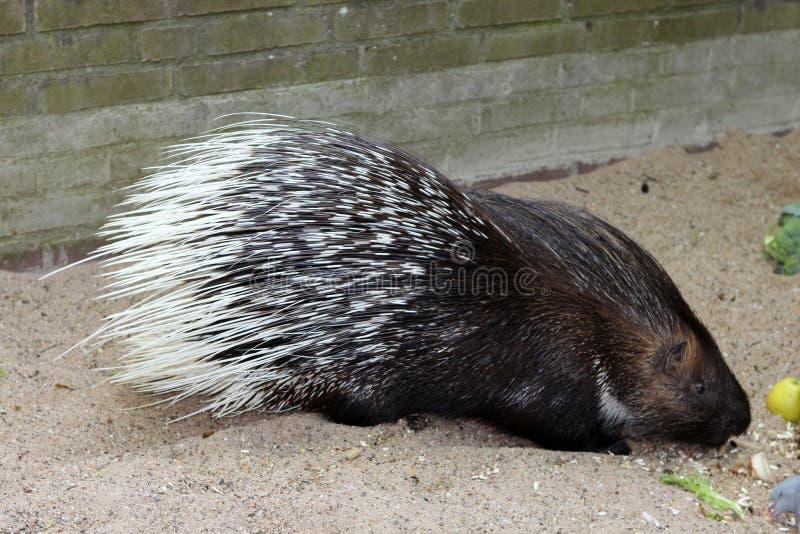 Porcupine. Animals. Knowledge of nature. Artis, Netherlands. stock image