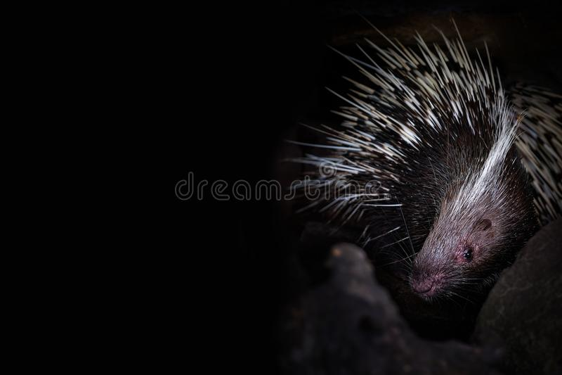 Porcupine in the cave hole on black background stock photo