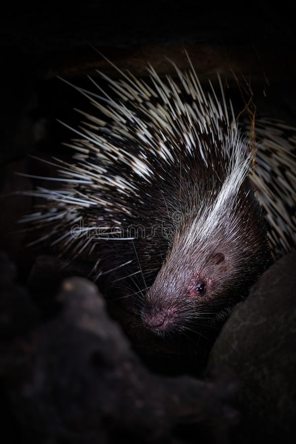 Porcupine in the cave hole on black background. Porcupine in the cave hole on a black background stock photography