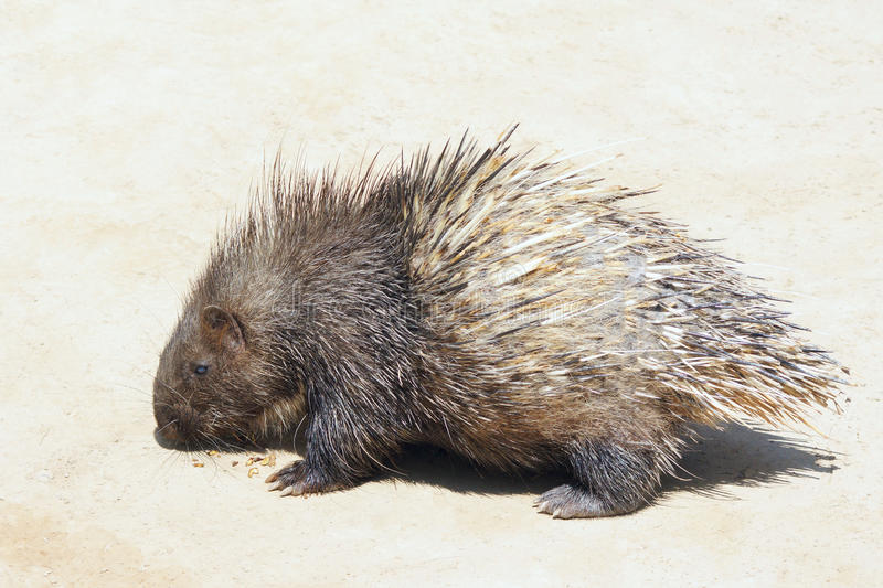 Porcupine. The close-up of porcupine stock image