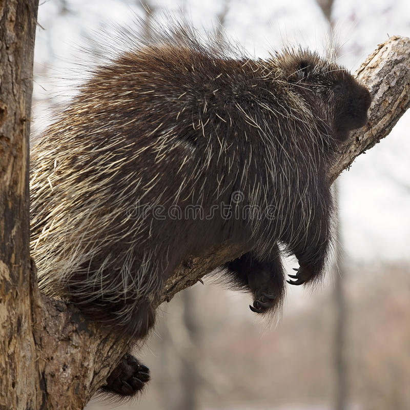 Porcupine. Close up image of a North American porcupine resting on a tree branch, during the golden hour of evening light royalty free stock photos